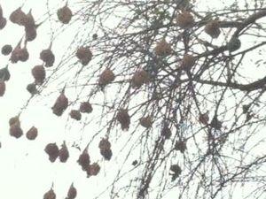 nid de bélier