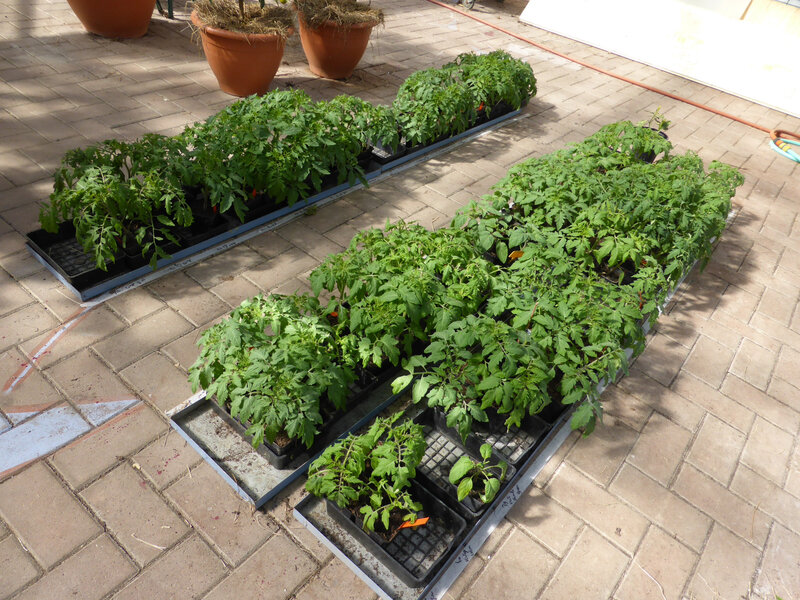 16-tomates (2)