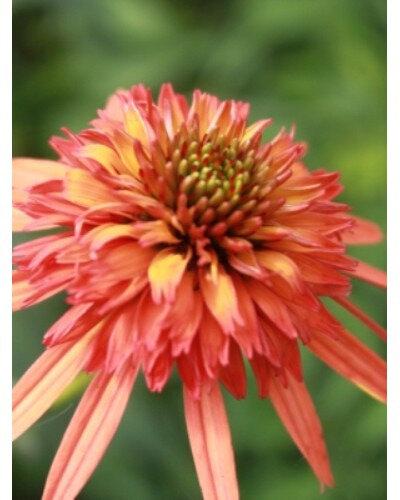 echinacea-irresistible