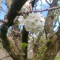Fleurs blanches du cerisier