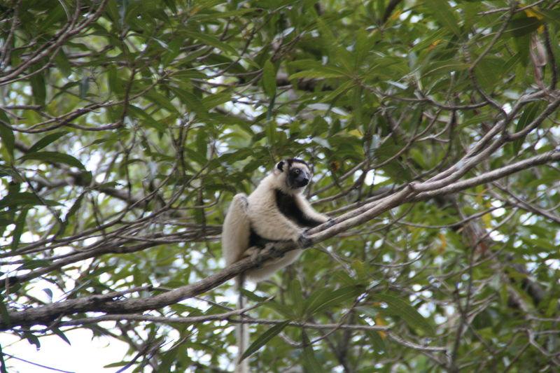 Lémuriens (descente de la Tsiribinha) 12