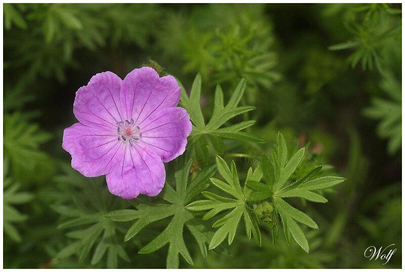 geranium-sanguineum-20-01