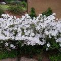 azalée blanc 11