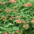 Campsis grandiflora