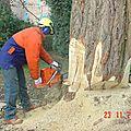 abattage du gros acacia