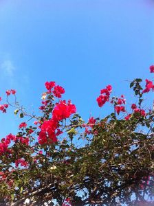 bougainvilliers2