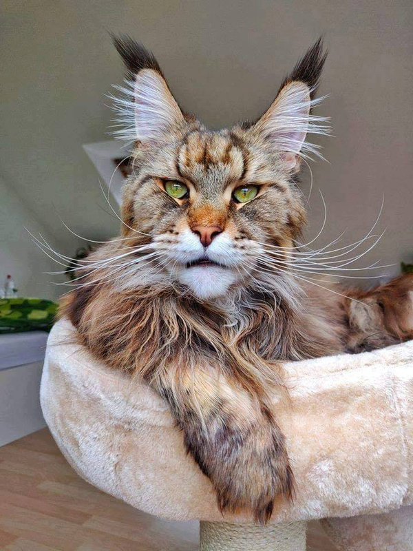 chat-maincoon