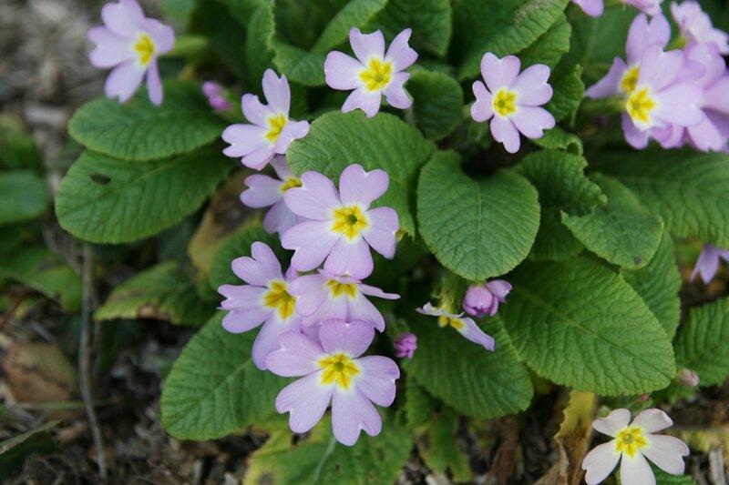 fevrier-jardin-slsdk-primevere-violet