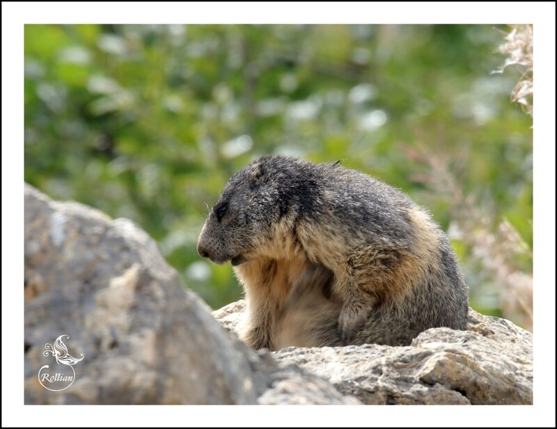 Famille marmotte 5