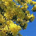 Les mimosas d'helene legrais...