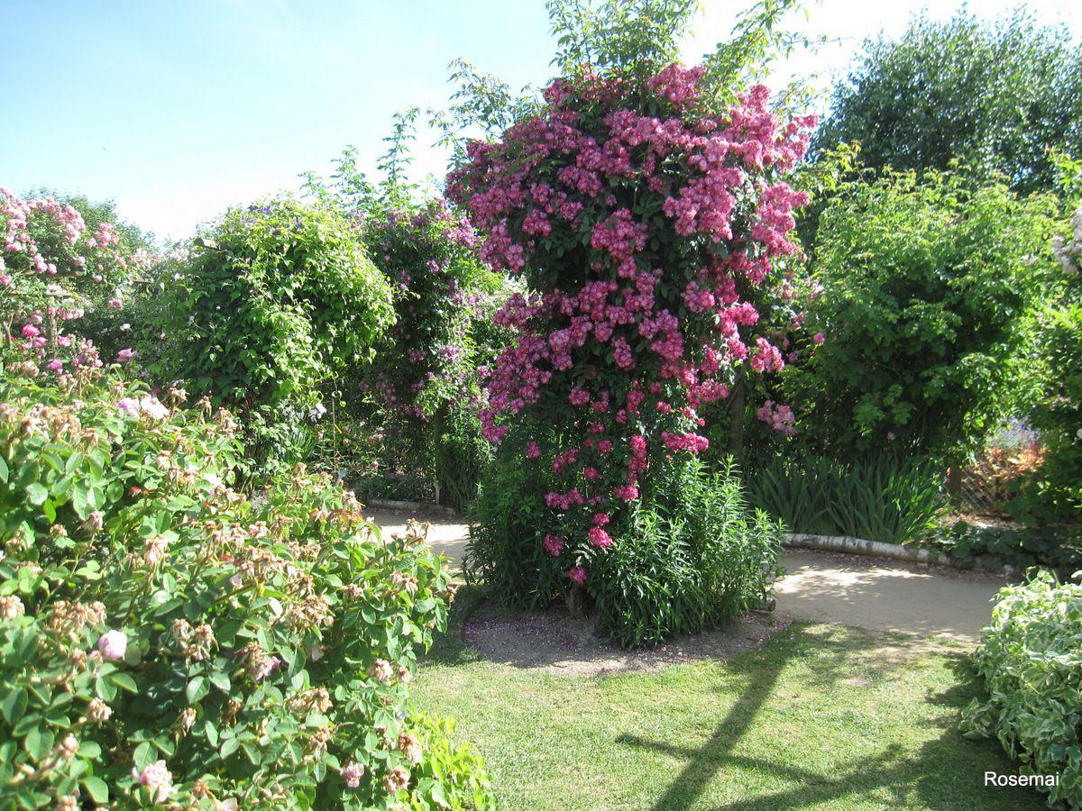le jardin de morailles et sa collection de roses anciennes visiter pithiviers le vieil dans. Black Bedroom Furniture Sets. Home Design Ideas