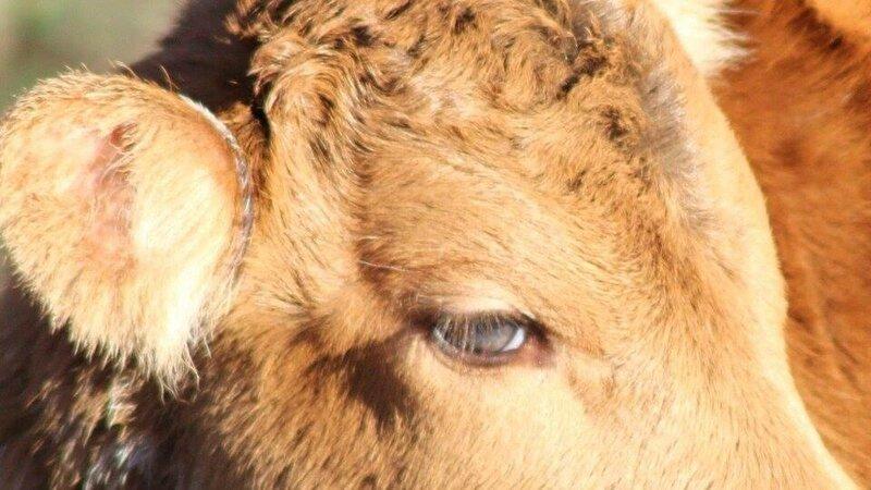 veau aux yeux verts