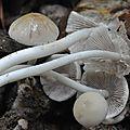 Psathyrella candolleana (7)