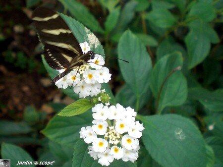 Heliconius charithonia • Heliconiidae