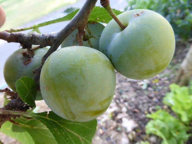 21-prunes (5)