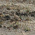 Courvite de Temminck (Rhinoptilus temminckii) - Etosha N.P. Namibie