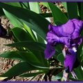 Iris bleu violet 030415