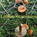Lactarius aurantiofulvus