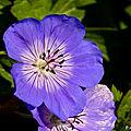 Au jardin: géranium vivace