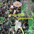 Craterellus tubaeformis