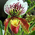orchidée paphiopedilum (sabot de Vénus)