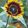 2008 09 16 Une fleur de tournesol beauté d'automne