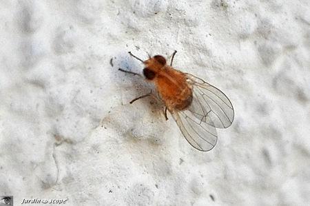 Drosophila_melanogaster