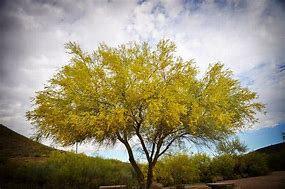 palo verde arbre3
