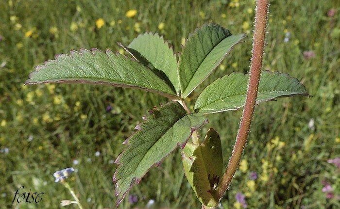 feuilles à 5-7 folioles oblongues