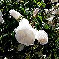 Fleurs de Léon 260518
