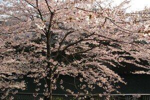 Cerisier__17_