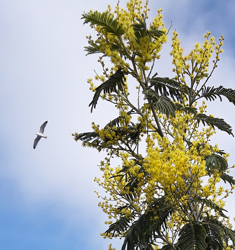mimosa goéland