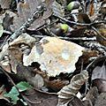 Hygrophorus nemoreus (2)