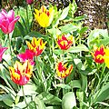 Tulipes avril 2013