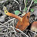 Chalciporus piperatus (3)