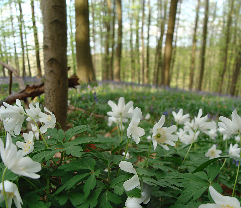Photo-Wood_Anemones_in_Belgium