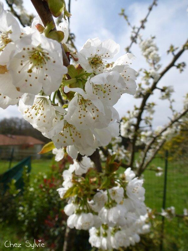 Fleurs cerisier1