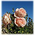 Mes premières roses