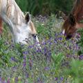 marisma (11) cabezas caballos