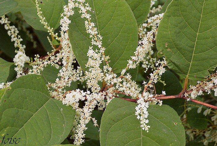 fleurs en grappes axilllaires dressées