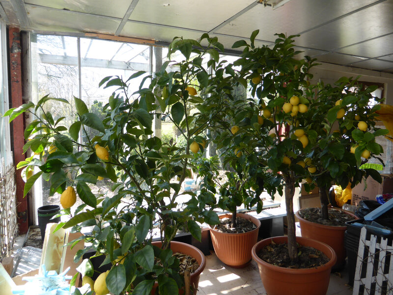 19-citronniers (3)