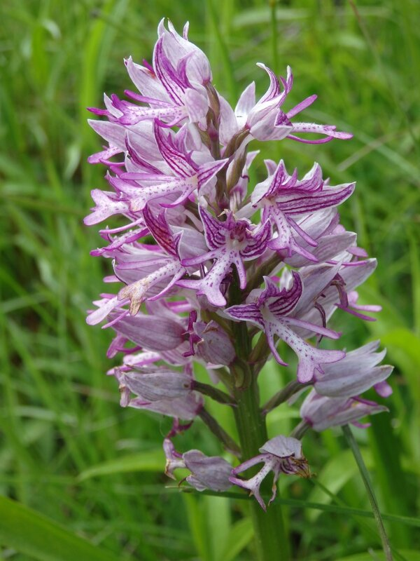 orchis militaire anomalie