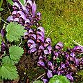 Lathrée clandestine (plante vivace parasite