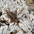 Grillon des bois • Nemobius sylvestris • famille des Gryllidae