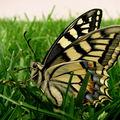 Butterfly (105)