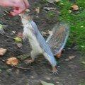 ... où comme tous les espaces vert de Londres, les écureuils gris pullulent
