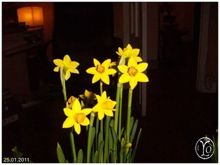 narcisses_tete_a_tete
