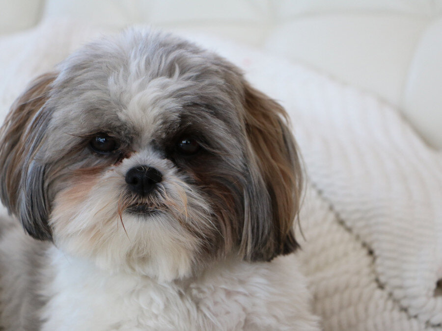 5_CHIOT_CHIEN, SHIH TZU_A_VENDRE_A_ADOPTER_PARTICULIER__ELEVAGE_ELEVEUR_11_34_30,aude_narbonne_ HERAULT_GARD_MONTPELLIER_ NIMESLUNEL_NEWS_PRESS_CARD_2019_
