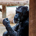 chimpanze beauval6