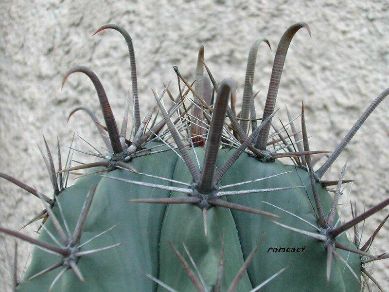 Ferocactus sp.